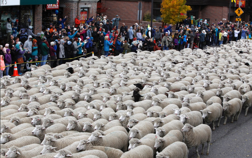Más de 1500 ovejas cada año desfilan por la calle principal de Ketchum.